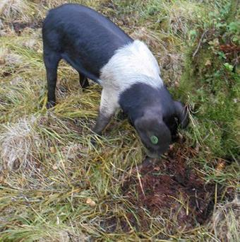 One of the saddleback pigs before they went missing and sparked a major hunt (The Wildlife Trust/PA)