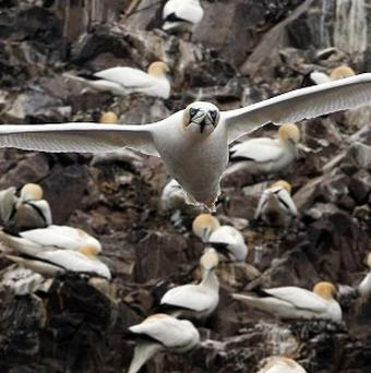 Gannets nest in huge colonies.