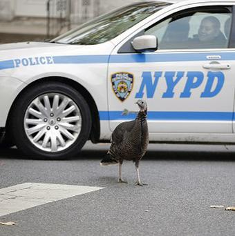 A police officer eases her patrol car through an intersection in Staten Island, New York, in a neighbourhood where a large population of feral turkeys have established residence (AP)
