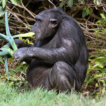 A US group wants chimpanzees to be granted legal rights