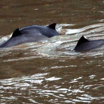 A group of about five harbour porpoises has swum up the River Thames to the Lambeth area of London