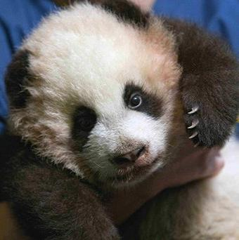 Giant panda cub Po is found to be a she after genetic testing at Zoo Atlanta also found that twin panda cubs were female too.