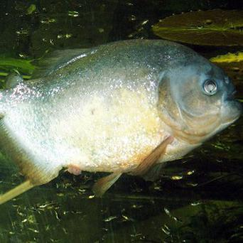 Piranhas are not normally thought to be dangerous to humans