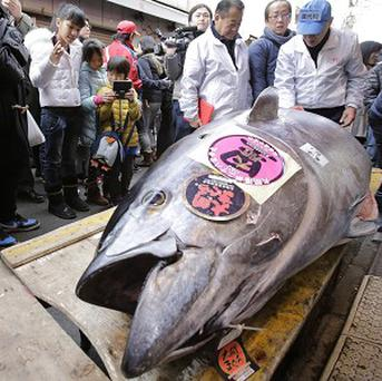 People watch a bluefin tuna laid in front of a sushi restaurant near Tsukiji fish market after the year's celebratory first auction in Tokyo. (AP)