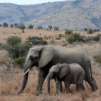 A teacher was injured when an elephant attacked her car.