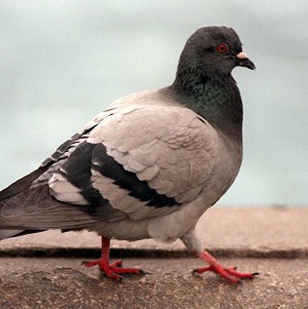 Pigeons are best able to memorise flight paths when the terrain below is neither too featureless nor too crowded