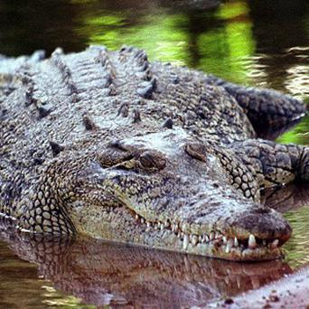 A bus driver said he saw a 6ft crocodile under a bridge