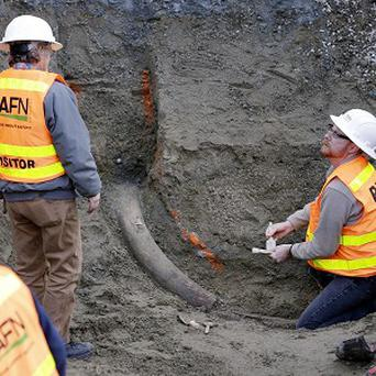 Researchers from the University of Washington's Burke Museum inspect the fossilised mammoth tusk (AP)