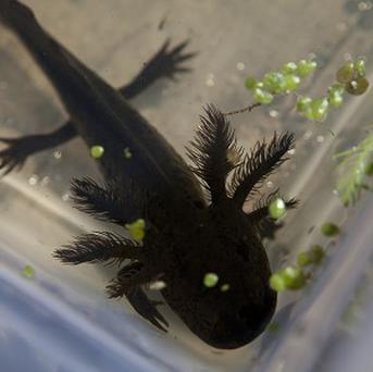 A young axolotl swims inside a plastic container (AP)
