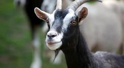Goats learn quickly how to solve complex tasks and have