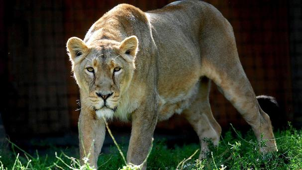 A Danish zoo has defended its decision to kill two ageing lions and two cubs