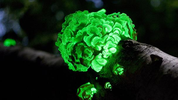 An artist's impression of bioluminescent fungi growing on a tree (Ylem/PA)