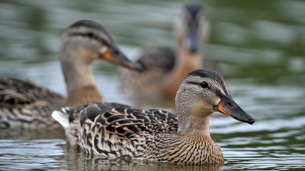 A duck turned out to be the culprit when a US woman thought her home had been invaded by an intruder