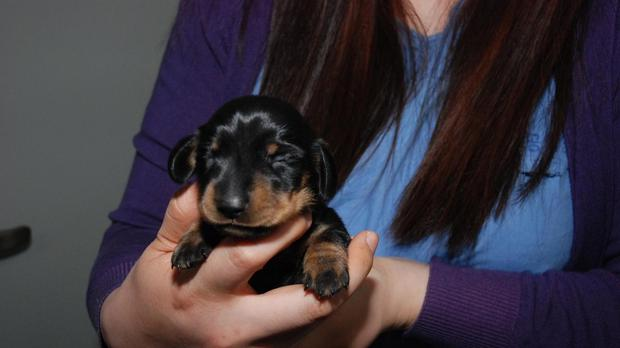 Britain's first cloned dog is a dachshund called 'mini Winnie' after the animal it was cloned from (Channel 4/PA)
