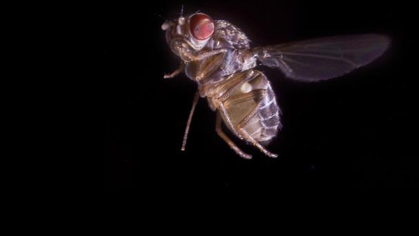 The fruit fly, Drosophila hydei, behaves like a fighter jet when trying to escape a predator, scientists have found (University of Washington/PA)