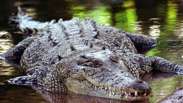 A crocodile was captured wandering outside a pet store in a California shopping centre.