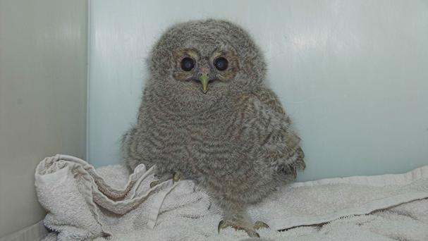 The young tawny owl was found in woods in Bearsden, near Glasgow (Scottish SPCA/PA Wire)