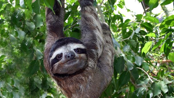 Sloths spend 90% of their lives upside down and have internal organs fastened in place to prevent them squashing their lungs (Becky Cliffe/Swansea University/PA)