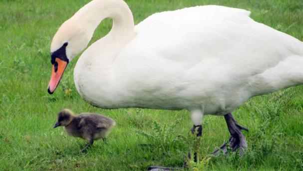 A mute swan is rearing a greylag gosling to the amazement of staff at the WWT Slimbridge Wetland Centre (James Lees/WWT Slimbridge Wetland Centre /PA)