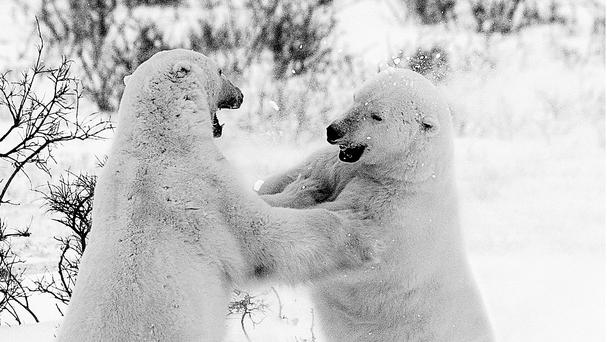 Scientists hope understanding polar bears will help them find new ways to fight human obesity