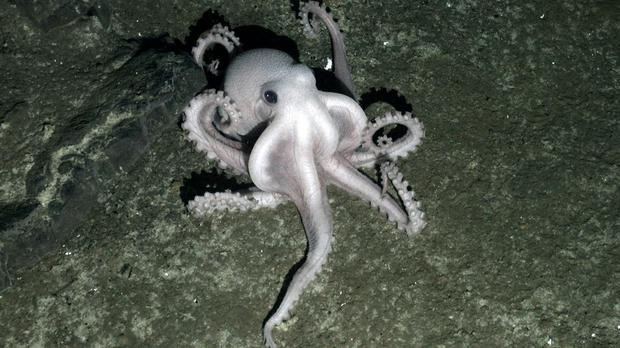 Scientists believe a chemical signal prevents the suckers on an octopus's tentacles from sticking to the creature itself