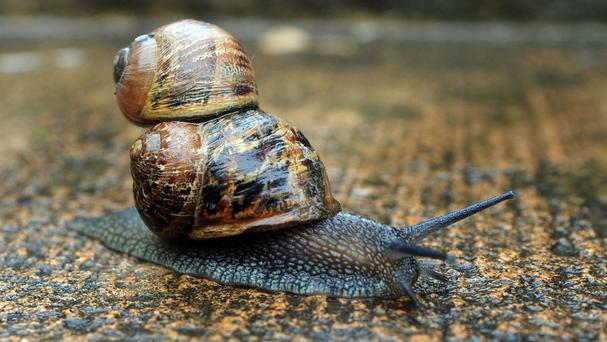 Gardeners can best rid themselves of snails by throwing them at least 20m away, scientists have found