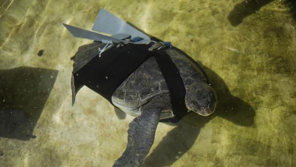 A green sea turtle named Hofesh swims with a prosthetic fin (AP)