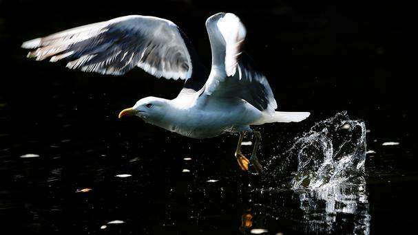 Seagulls could be policed by sheep dogs in a bid to protect the environment.