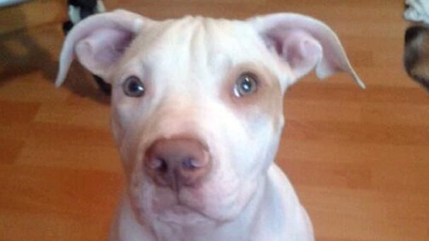 The six-month-old Staffordshire-mastiff-American bulldog-cross which was reunited with her owner following a Facebook appeal