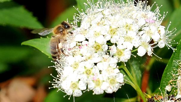 Honey bees perform a 'waggle dance' to tell nest mates where the best pollen can be found