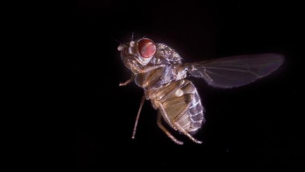 A fruit fly, as a new study revealed the insects seem to accumulate information before committing to a choice