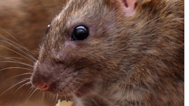 Rats have been blamed for a blaze at a farmhouse.