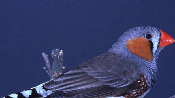 The study of zebra finches suggested that prosodic language pre-dated structured speech (PA /TR Birkhead)