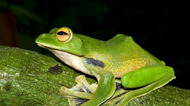 A giant green flying frog, which is amongst hundreds of new species found by scientists in the Greater Mekong region
