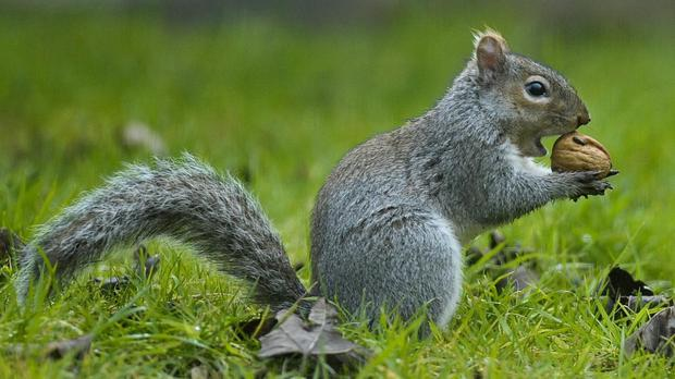 If the greys manage to cross the Alps, it could prove disastrous for native red squirrels, scientists claim