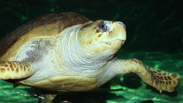 A loggerhead turtle is making predictions for World Cup matches