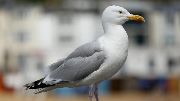 Local fisherman in Trouville-sur-Mer say the gulls regularly dive bomb them on their trawlers but they can do nothing as the gulls have been a protected species since 2009 (Stock image)