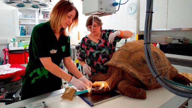 A vet checking Helen the giant tortoise after she developed a a nasal infection (Bristol Zoo/PA)