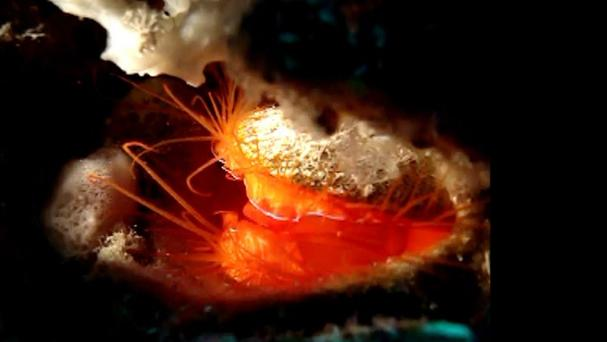 The 'disco' clam uses tiny light-scattering glass beads to produce the rhythmic flashing display (University of California/PA)
