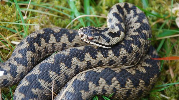 Dog-owners are urged to be vigilant after a family dog nearly died when it was bitten by an adder
