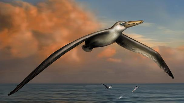 An artist's impression of Pelagornis sandersi, thought to be the world's biggest-ever flying bird (Liz Bradford/PA)