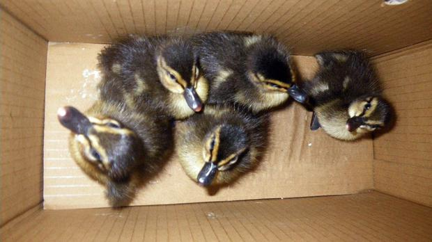 Five ducklings were rescued by a fire crew after they got trapped down a drain in Middlesbrough (RSPCA/PA)