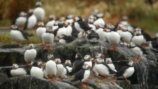 Residents have been urged to look out for pufflings which may be in distress
