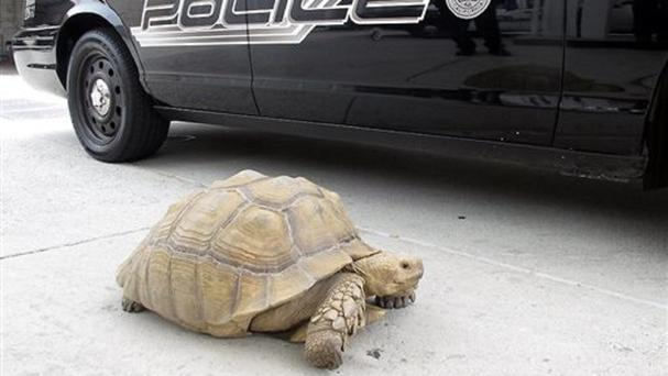 A giant tortoise was found wandering the streets of Alhambra, California (AP/Alhambra police department)