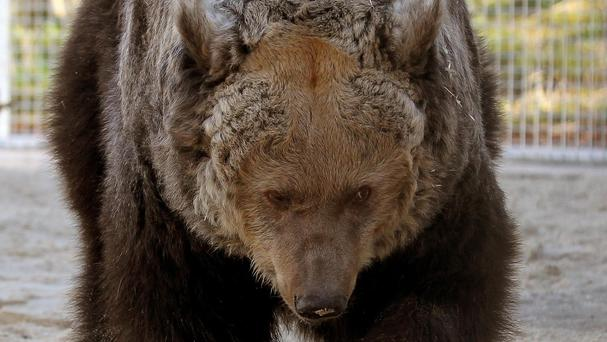 Grizzly bears prepare for winter by stuffing themselves with food and becoming obese