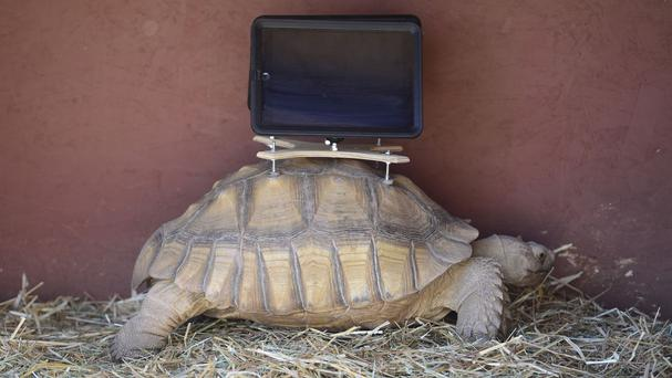 A tortoise with an iPad mounted on its back, part of a controversial exhibition at Aspen Art Museum (AP)