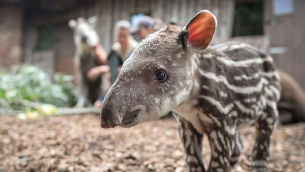 A young male tapir