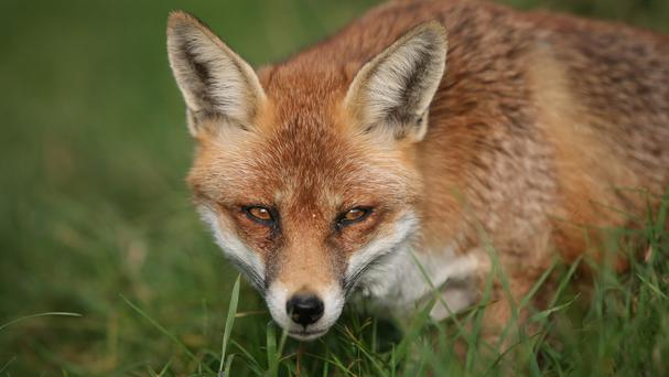 In courtship the dog fox is possessive and will soon see off any male intruders