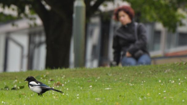 Magpies do not deserve their reputation as trinket thieves, scientists have found (University of Exeter/PA)
