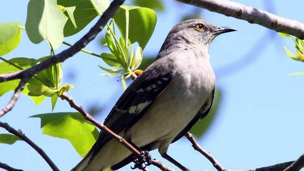 The mockingbird can mimic more than 100 other birds' songs